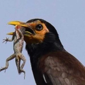 インドハッカ - ホノルル野鳥観察