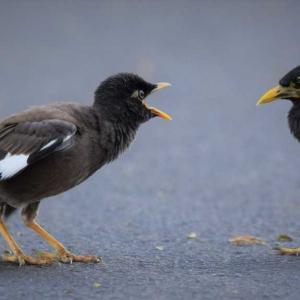 インドハッカ子供の教育-ホノルル野鳥観察