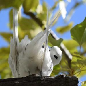 シロアジサシ - ホノルル野鳥観察