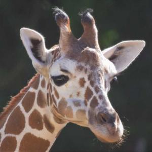 ホノルル動物園のキリン