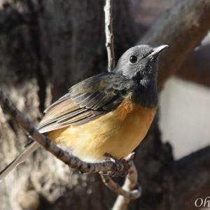 野鳥写真と動画‐アカハラシキチョウ/ハワイ野鳥観察
