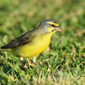 穂に集まる鳥‐ホノルル野鳥観察