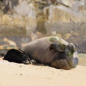 赤ちゃんアザラシの成長‐ワイキキビーチ