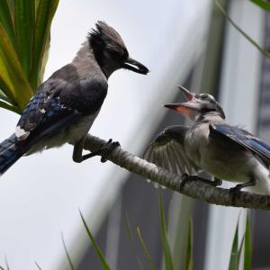 子育て中のアオカケス‐フロリダ野鳥観察