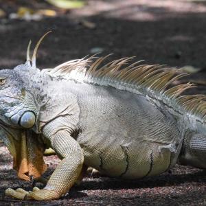 イグアナ・トカゲ ‐ フロリダ