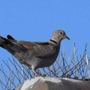 シラコバト ‐ カリフォルニアの野鳥