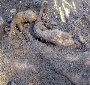 畑作業がひと段落、自然薯を掘ってみたら