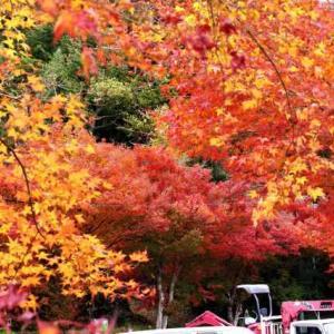 中津渓谷は黄葉、やっぱり紅葉は面河♪