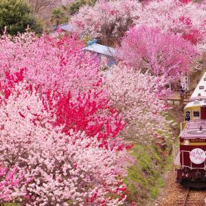 桃の花が咲く頃