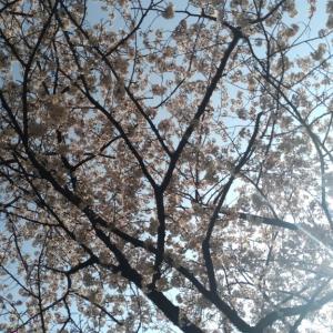 春爛漫♪川崎でお花見ランチ