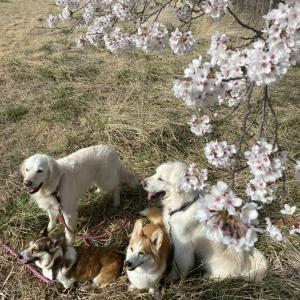 八ヶ岳で桜と写真撮影♪