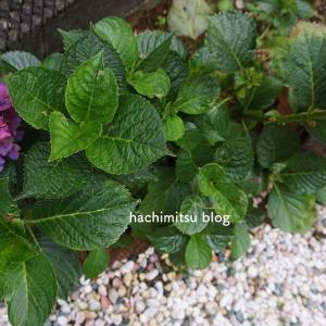■庭の紫陽花と幸せな寝姿のポメ