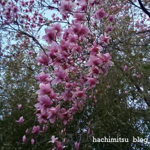 ■庭のはちみつ + 近所の木蓮