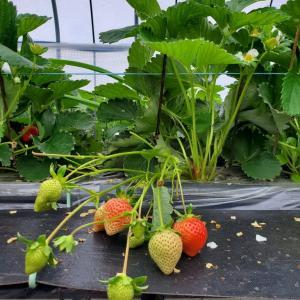 福岡あまおう、イチゴ生産者を訪問です。