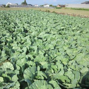 葉物野菜が健康に育っています。