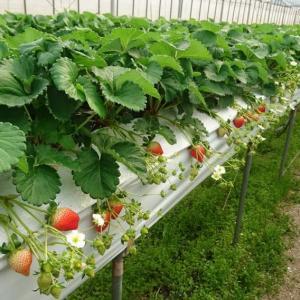 イチゴを高品質に多収メソッド