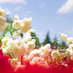 【2019】金沢・富樫バラ園 (金沢南総合運動公園) で芳醇な香りに包まれる。行くならお早めに!