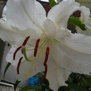 カサブランカが咲きました! カマキリもイイネ,です!