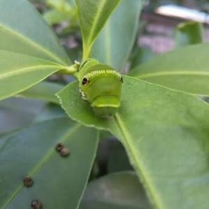 【またアゲハの幼虫】もうすっかり可愛さに虜ですが,何か問題でも?