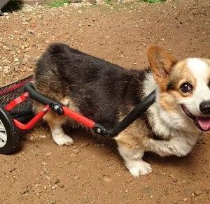 【犬用車椅子】老犬の歩行補助アイテム2つ 比較してみた【歩行補助ハーネス】