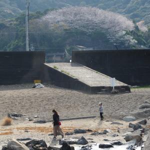 2021年お花見紀行 南伊勢町相賀浦の静かな港町を見守るシンボル『夢の千本桜』