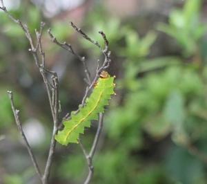 彼岸花の不思議 蛾の幼虫見つけた