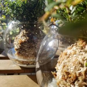 クランベリーの苔玉💓