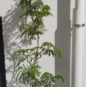 観葉植物、ユーカリ入荷🎵