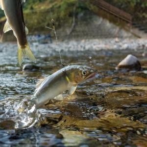 釣り女子が鮎の友釣りに挑戦!