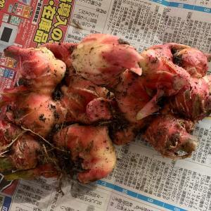 掘り立ての生姜