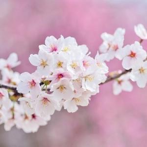 【桜月】サクラ咲く さくらソーシャルレンディング