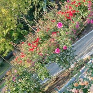 ここにバラ園が…雪印の園芸センター