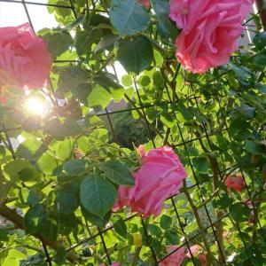 薔薇 2週間がたって