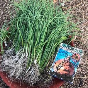 ダイソーの種 玉葱