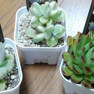 買ってきたばかりの多肉植物~(*^^*)