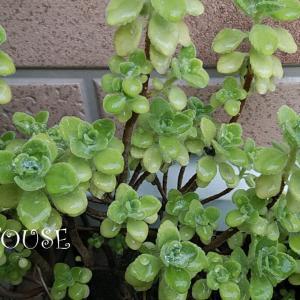 今日ではなく昨日の庭☆~植えっぱなしのアロマティカス~何年目かなぁ?