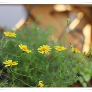 今日のベランダのお花達 ♪