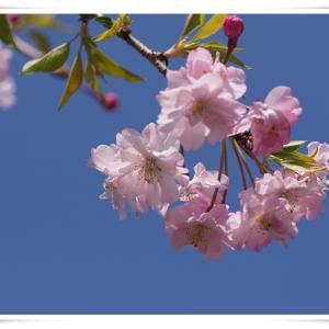 朝散歩で満開の桜が見れました ♪