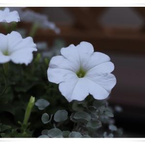 雨が降る前にベランダのお花を撮りました ♪