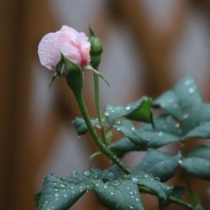 薔薇のナエマに蕾がつきました ♪