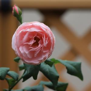 7月初めのベランダのお花 ♪