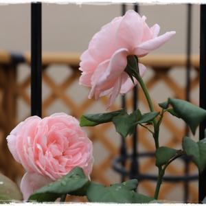薔薇のナエマ ♪