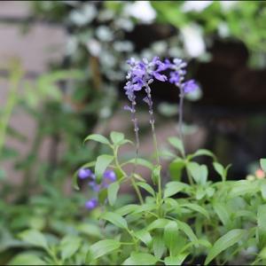 雨の合間に撮ったベランダのお花 ♪