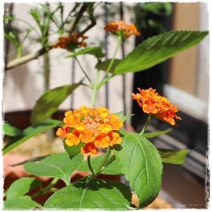 8月初旬のベランダのお花 ♪