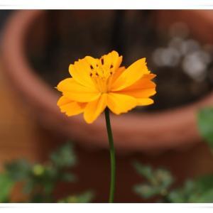 我が家の黄花コスモスはいつも1個か2個、咲いています ♪