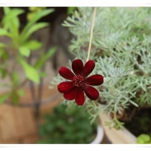 7月初旬のベランダのお花 ♪