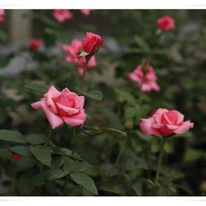薔薇が見たくて、神代植物公園に行きました ♪ パート2 !