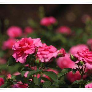 薔薇が見たくて、神代植物公園に行きました ♪ パート3 薔薇 うらら !