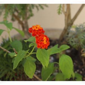 花が少ないベランダのお花 ♪
