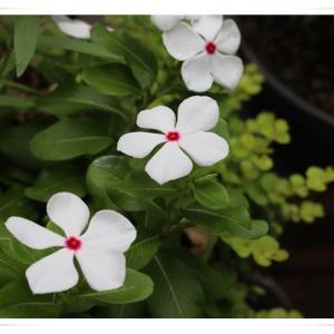 週末のベランダのお花 ♪
